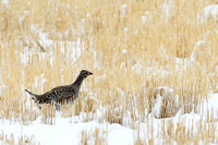 Sharp-tailed grouse (Tympanuchus phasianellus), on grain field near Freezout Lake, Fairfield, Montana, USA