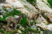 Bighorn sheep (Ovis canadensis) lambs, British Columbia, Canada