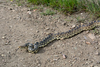 Gopher snake (Pituophis catenifer) on trail, Missoula, Montana