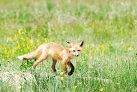 Red fox (Vulpes vulpes) kit venturing outside the den, Montana, USA