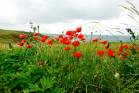 Red poppies, Black Sea coast, Bulgaria