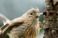 House finch (Carpodacus mexicanus), juvenile begging with tufts on head, Missoula, Montana, USA