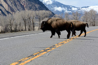 Bison (Bison bison) crossing the road, US Hwy 89, north of Gardiner, Montana, USA