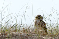 Burrowing owl (Athene cunicularia) in sand dunes, Lagoa do Peixe, Rio Grande do Sul, Brazil