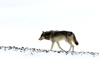 Wolf (Canis lupus), Wyoming, USA