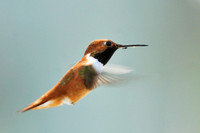Rufous hummingbird (Selasphorus rufus) with mosquito on its bill. Missoula, Montana, USA
