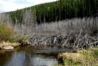 Beaver dam just upstream from culvert protective fence for beaver (Castor canadensis), BC