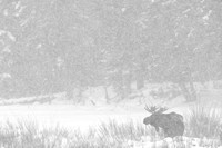 Bull moose (Alces alces) in snow storm, Wyoming, USA