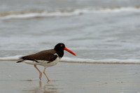 American oystercatcher (Haematopus palliatus), coast at Lagoa do Peixe, Rio Grande do Sul, Brazil