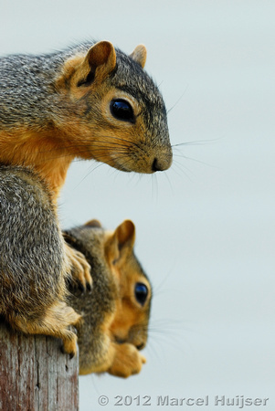 Eastern fox squirrels (Sciurus niger), Missoula, Montana, USA