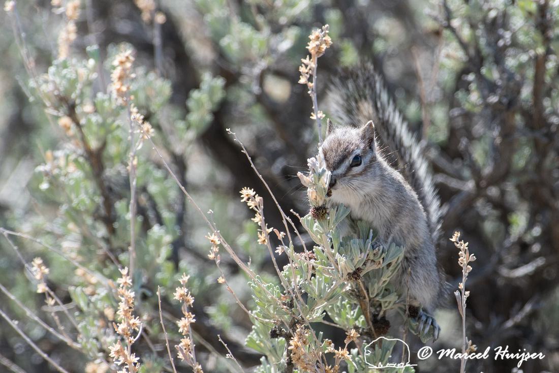 Least chipmunk (Tamias minimus) in big sagebrush (Artemisia trid