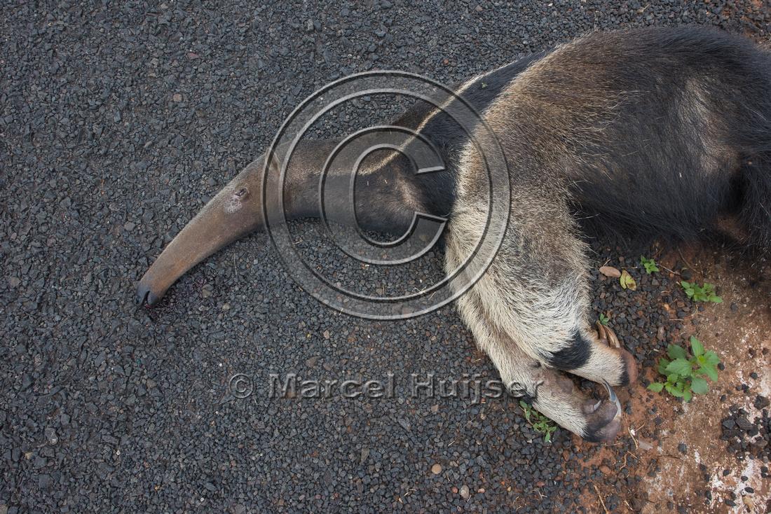 Giant anteater roadkill(Myrmecophaga tridactyla), Minas Gerais,