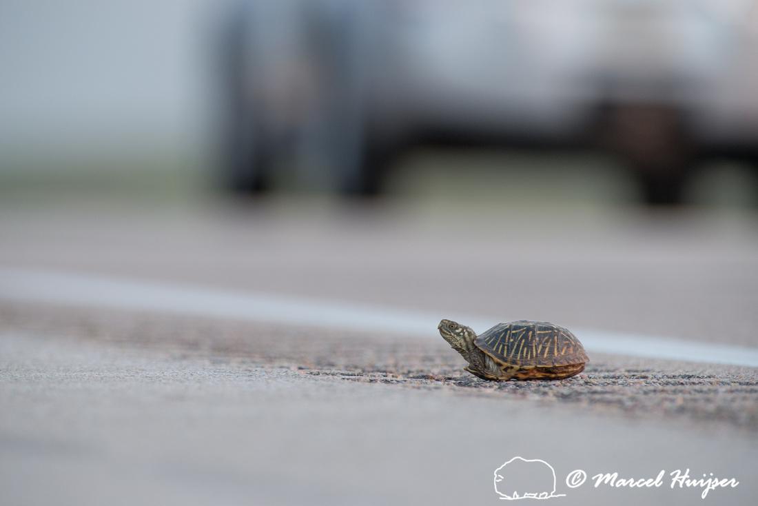 Ornate box turtle (Terrapene ornata ornata) on US Hwy 83 through