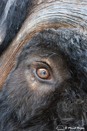 Muskox (Ovibos moschatus), Sweden (captive animal)