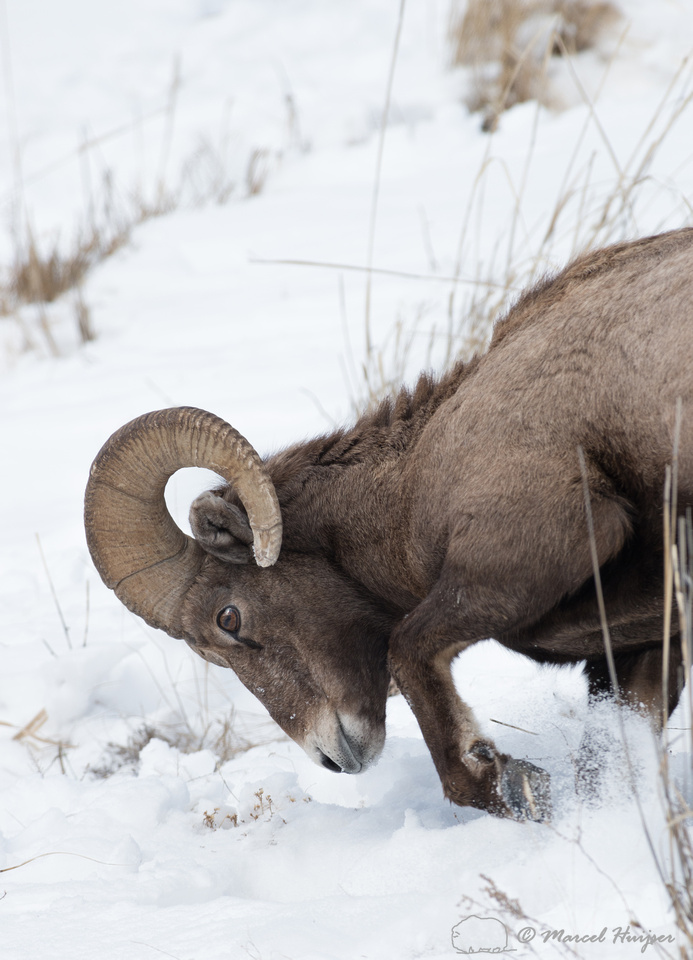 Bighorn sheep (Ovis canadensis) moving snow to access food, Wyom