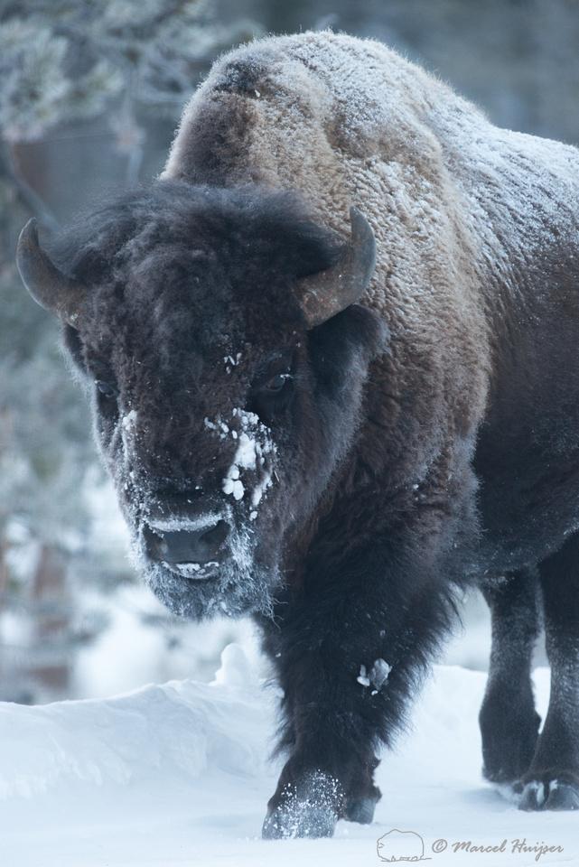 Bison (Bison bison), Wyoming, USA