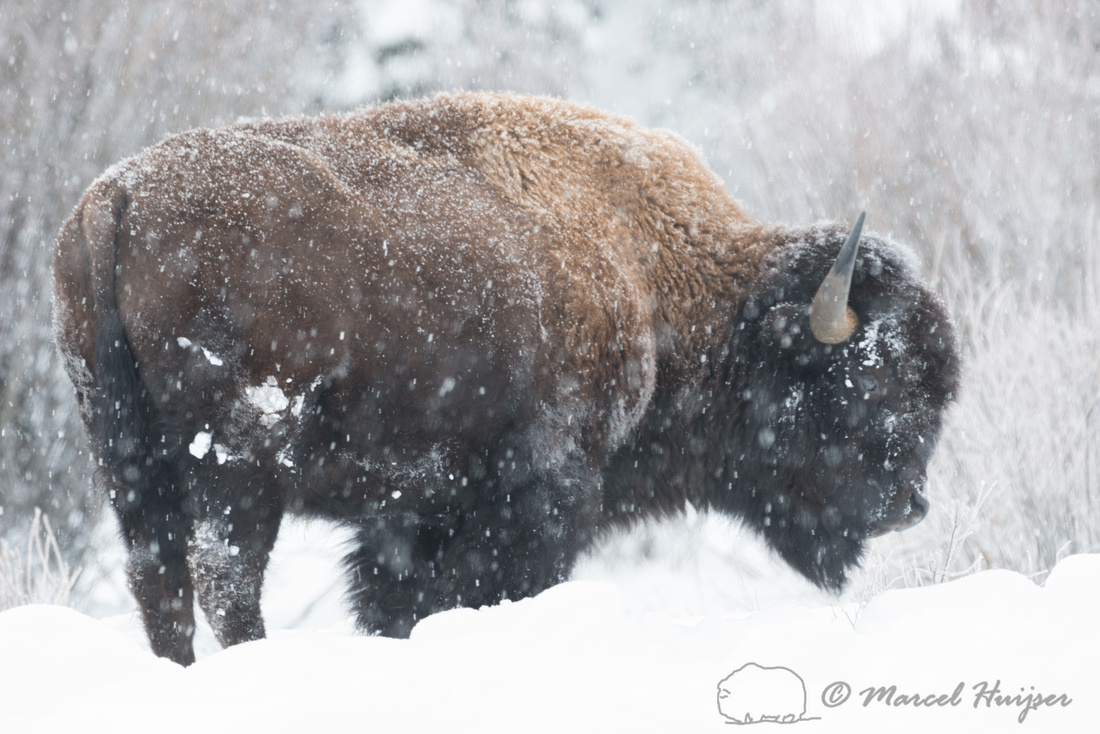 Bison (Bison bison), Wyoming, USA
