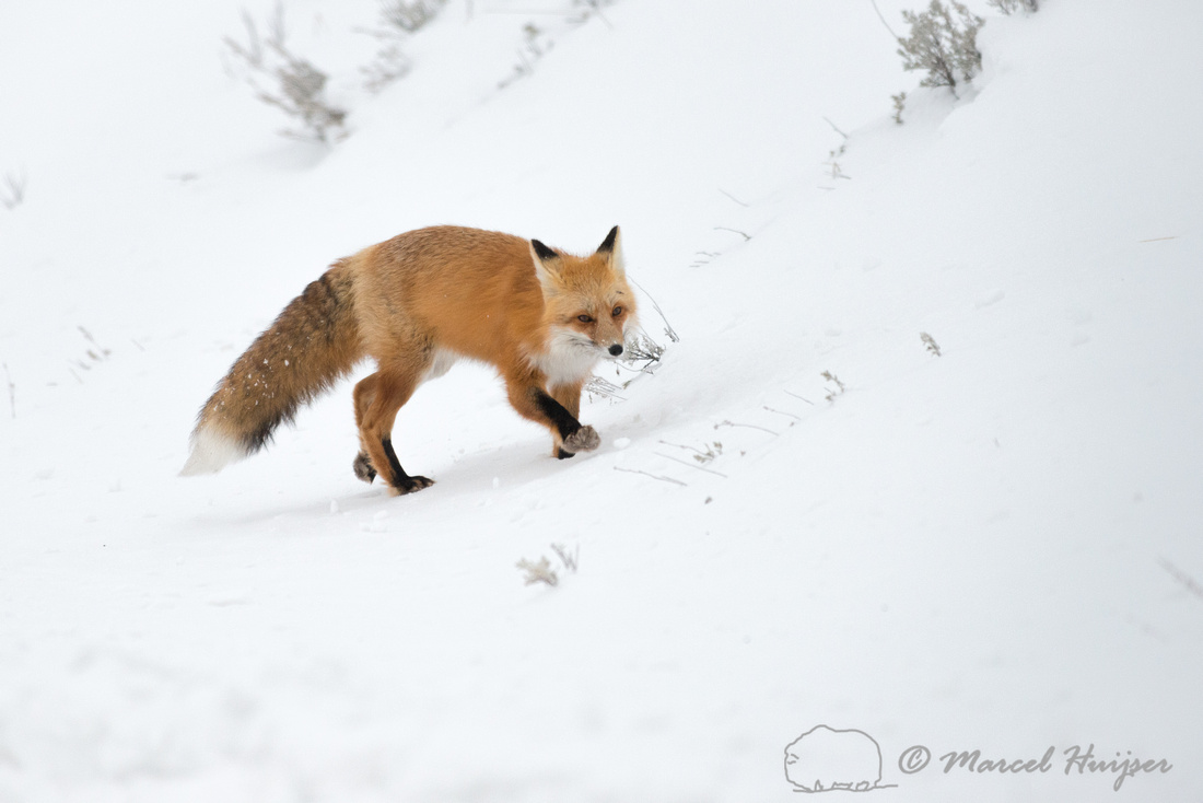 Red fox (Vulpes vulpes), Wyoming, USA