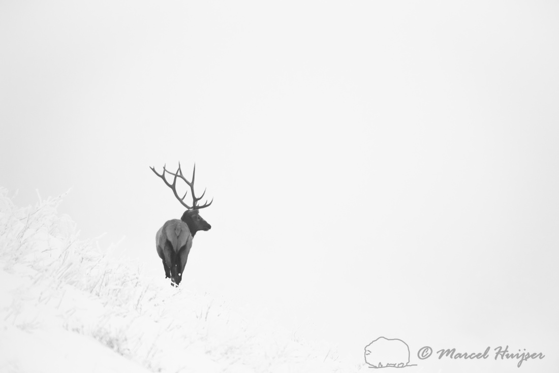 Elk (Cervus canadensis) bull looking out on snowy landscape, Mon