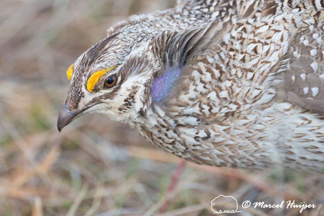 Sharp-tailed grouse (Tympanuchus phasianellus), Valentine Nation