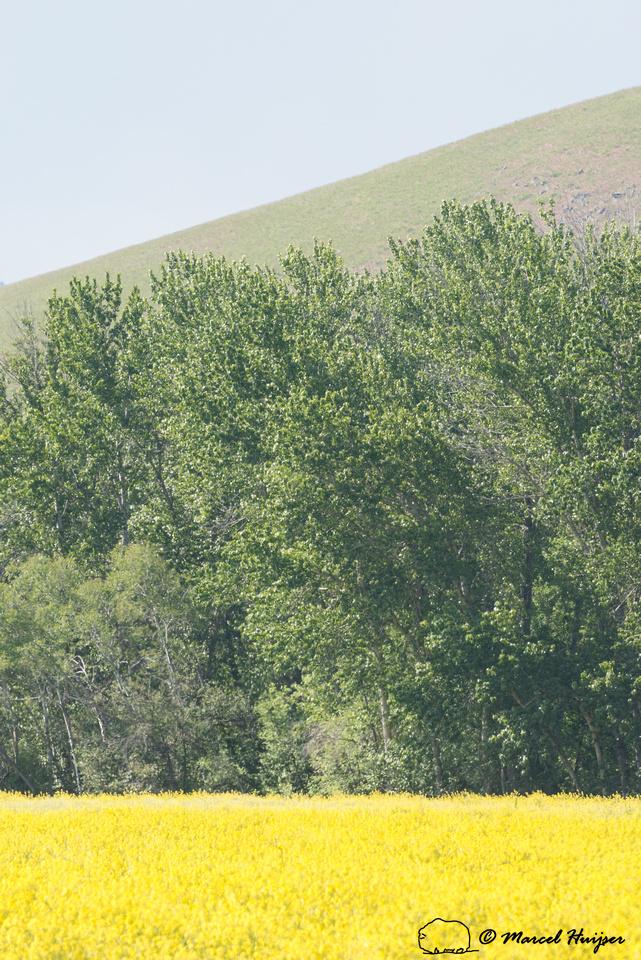 Yellow rapeseed, cottonwoods, and ridge line, Montana, USA
