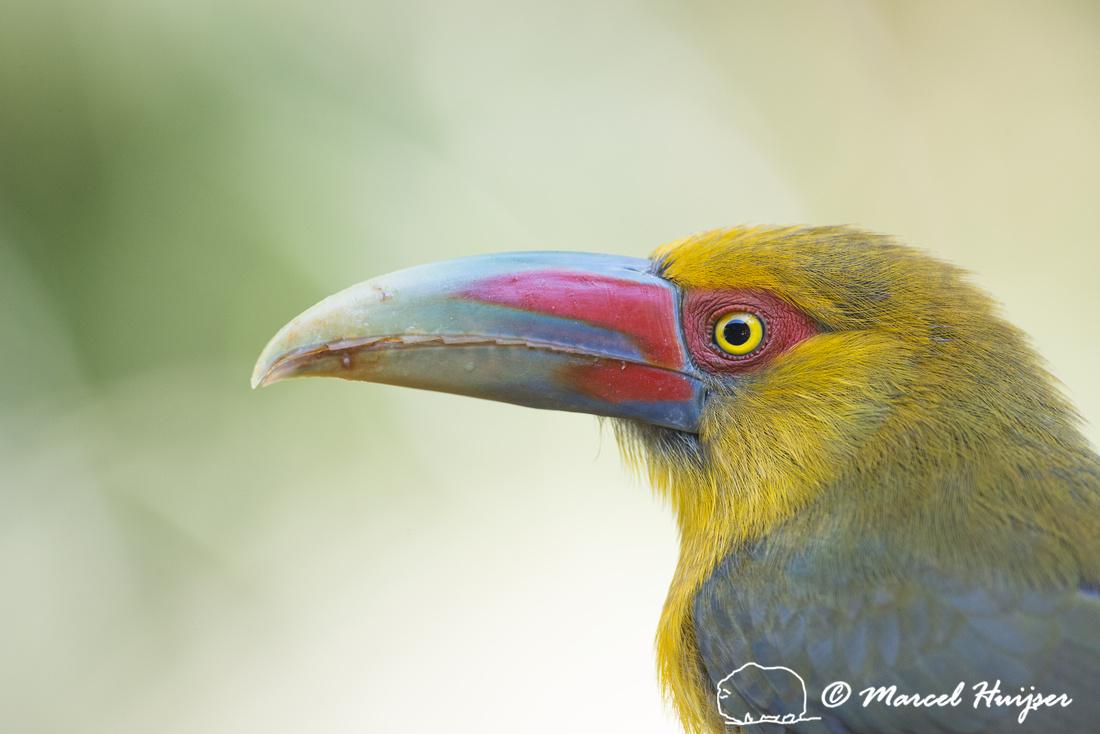 Saffron toucanet (Pteroglossus bailloni), São Paulo, Brazil