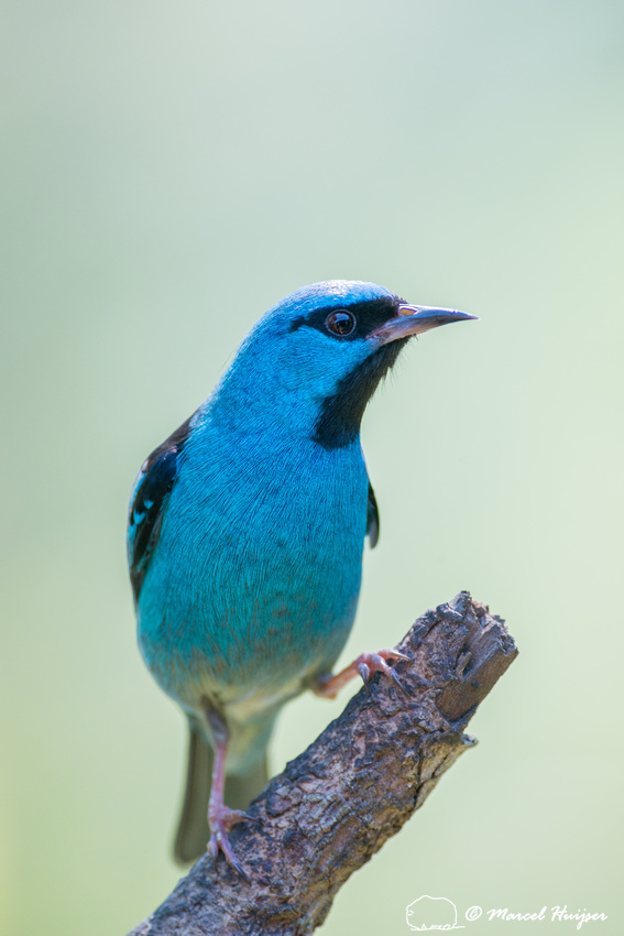 Blue dacnis or turquoise honeycreeper (Dacnis cayana) male, São