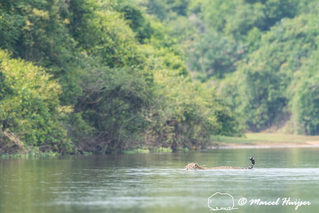 Jaguar (Panthera onca), Rio Negro, Mato Grosso do Sul, Brazil