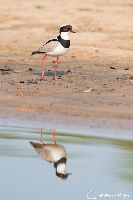 Pied plover (Vanellus cayanus), or pied lapwing, Rio Negro, Pant