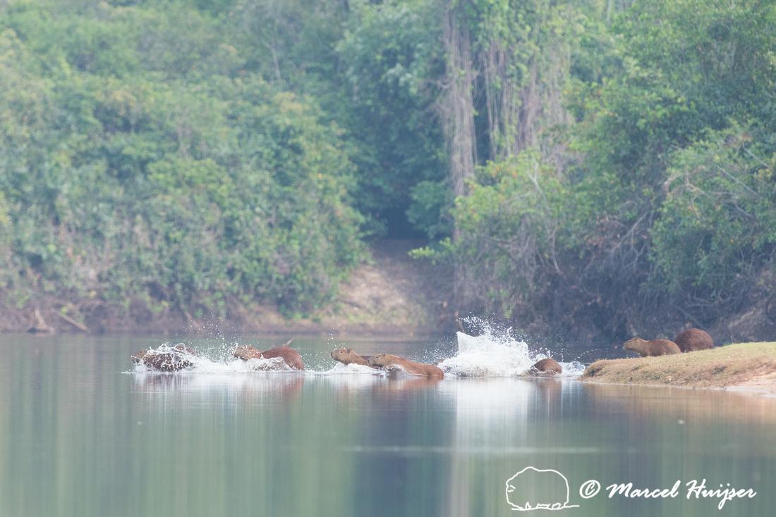 Capybara (Hydrochoerus hydrochaeris), Rio Negro, Pantanal, Mato