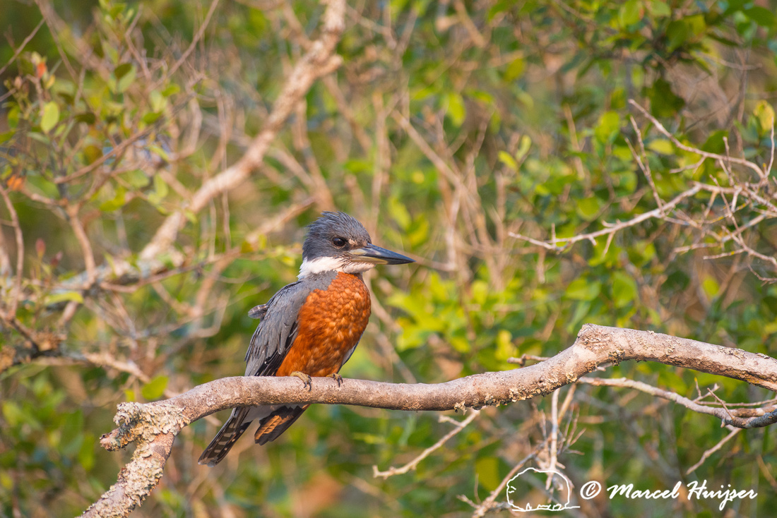 Ringed kingfisher (Megaceryle torquata), Rio Negro, Mato Grosso