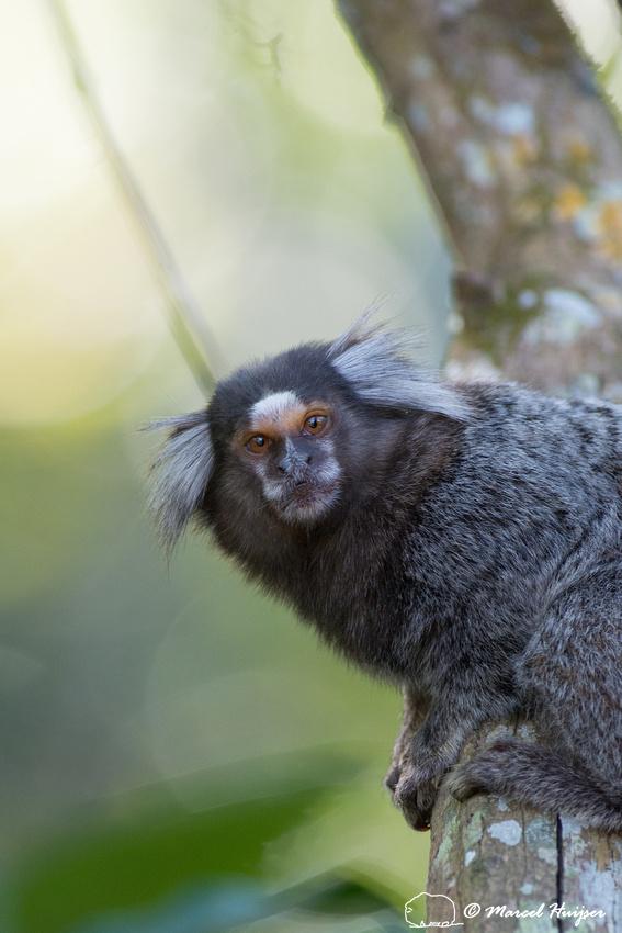 Common marmoset (Callithrix jacchus), Rio de Janeiro, Brazil