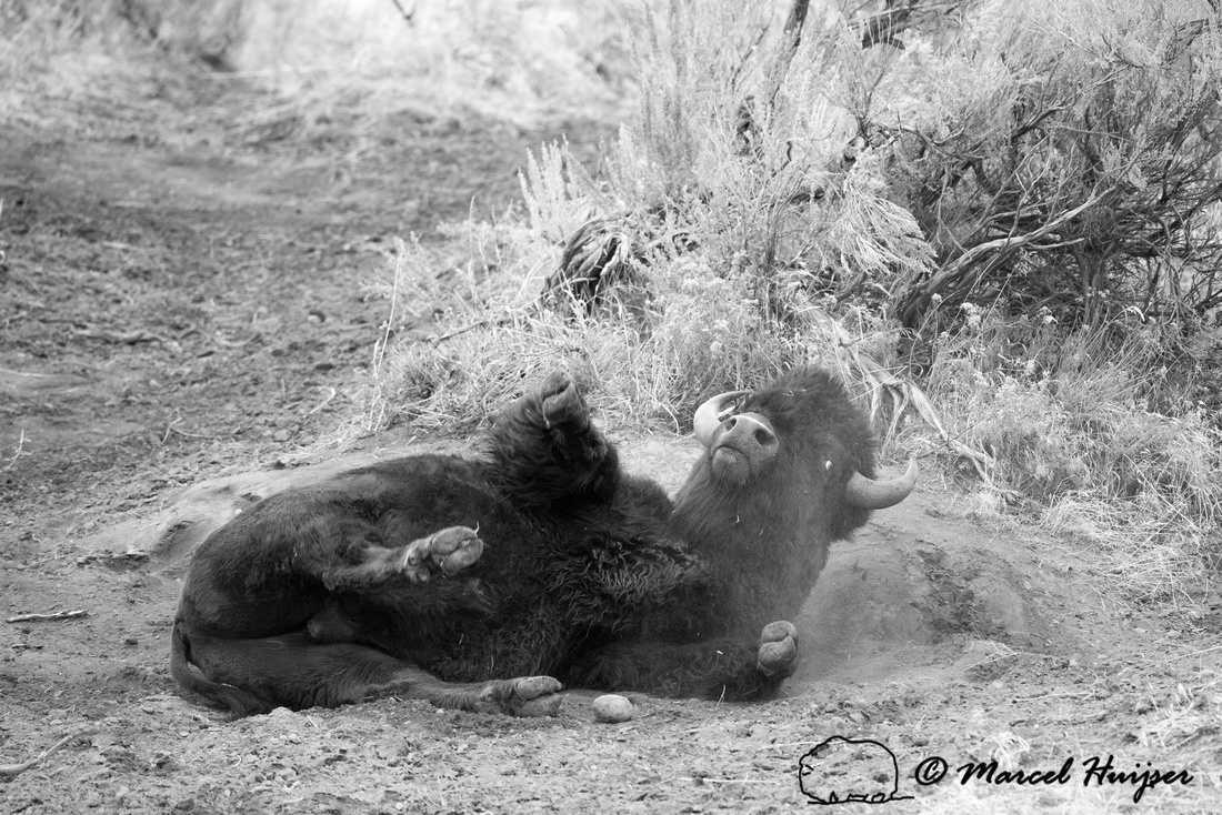 Bison (Bison bison) taking dust bath, Yellowstone National Park,