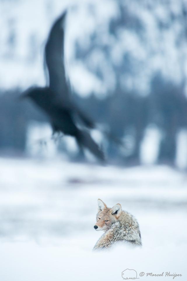 Coyote (Canis latrans) and common raven (Corvus corax), Wyoming,