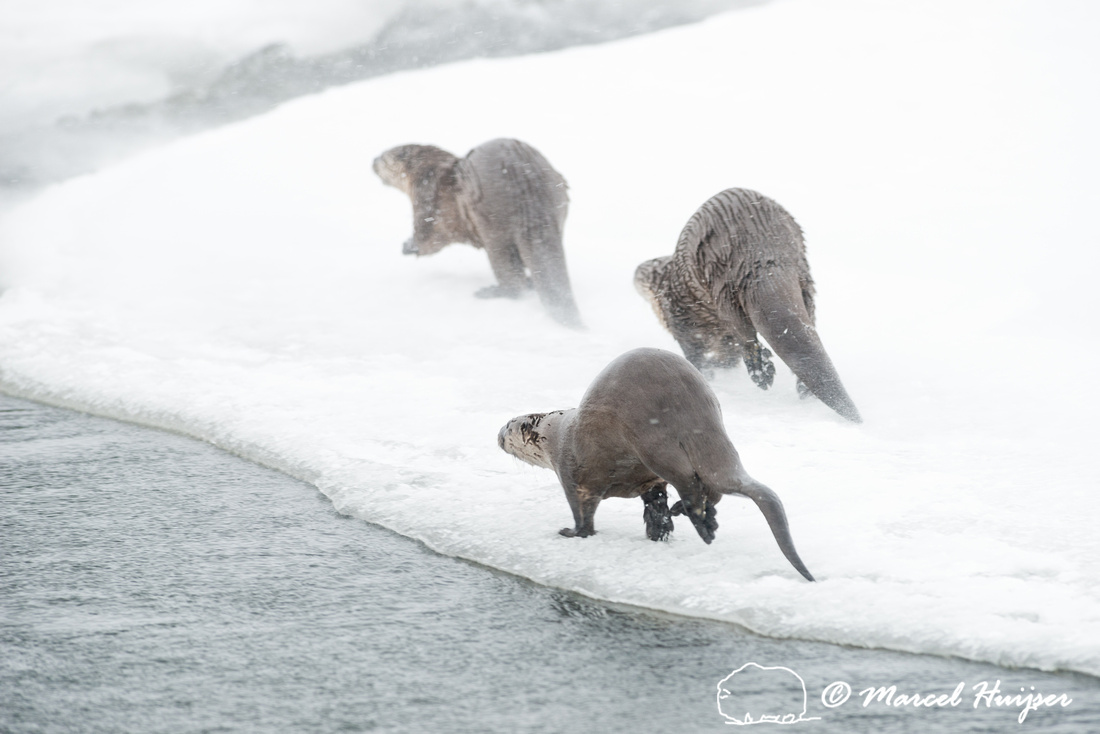 Northern river otter (Lontra canadensis), Wyoming, USA