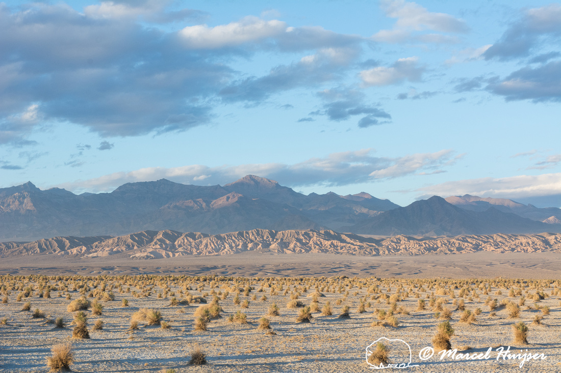 Devil's Cornfield (arrowweed, (Pluchea sericea), Death Valley Na