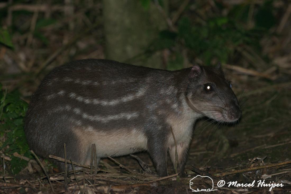 Lowland paca (Cuniculus paca), or spotted paca, São Paulo, Braz