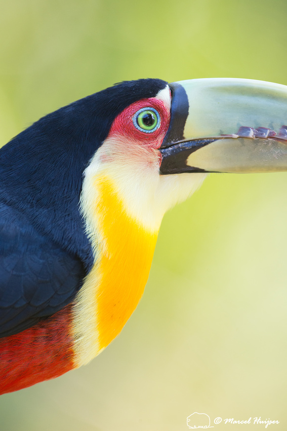 Green-billed toucan (Ramphastos dicolorus) or red-breasted touca