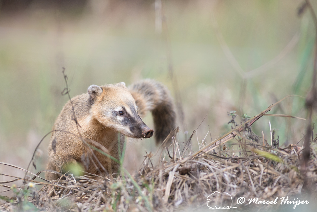 South American coati, or ring-tailed coati (Nasua nasua), Piraci