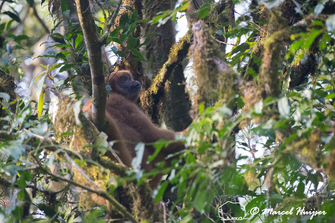 Southern muriqui or southern woolly spider monkey (Brachyteles a