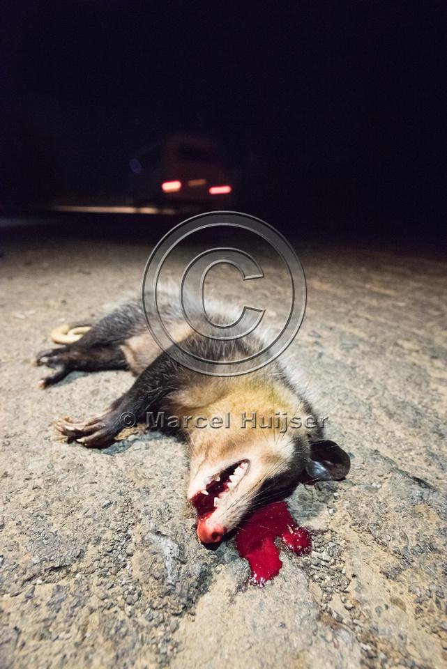 Big-eared opossum (Didelphis aurita) roadkill, São Paulo, Brazi