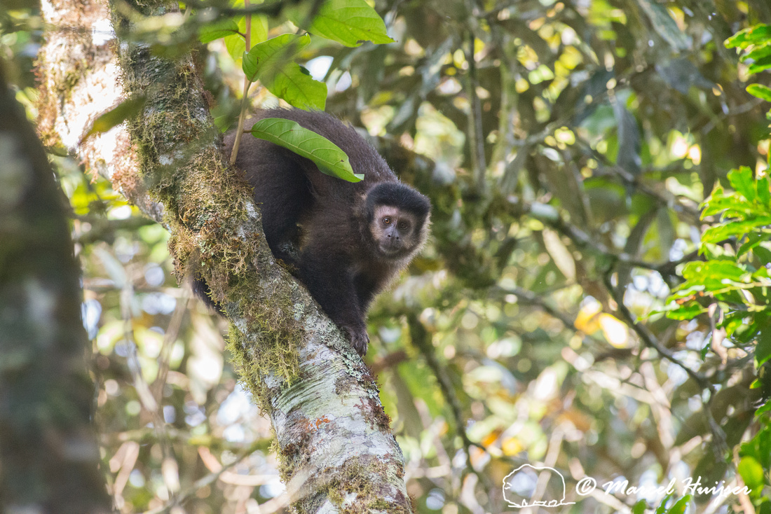 Black capuchin, (Sapajus nigritus), also known as the black-horn