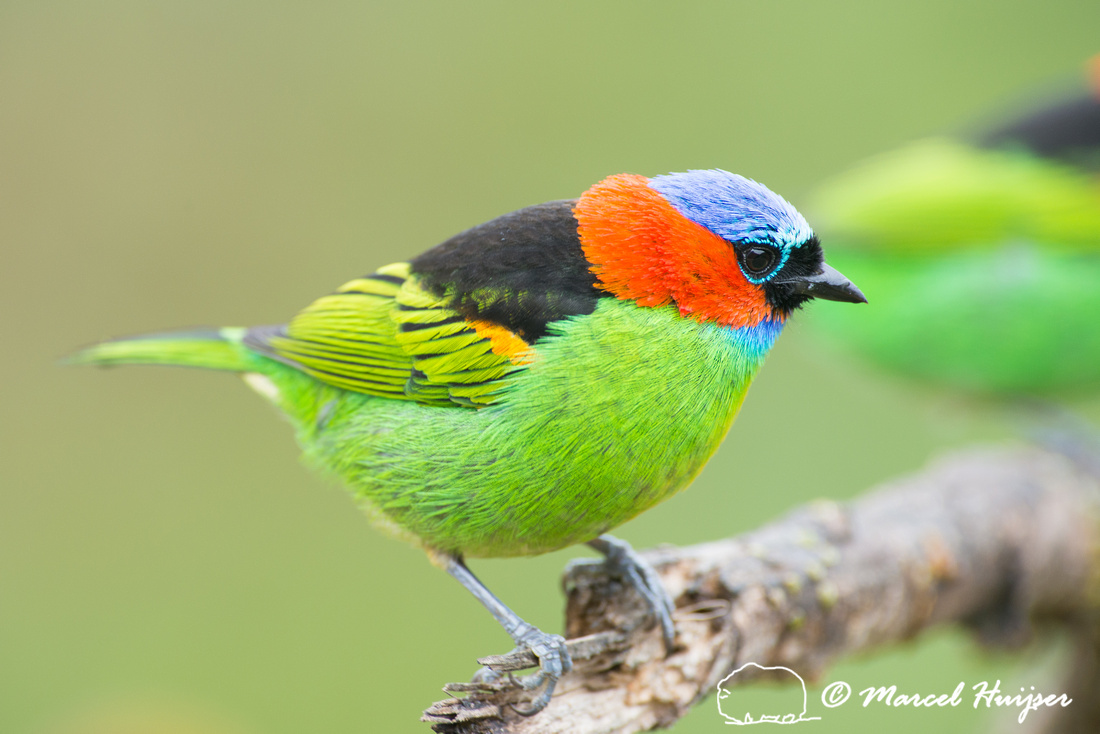 Red-necked tanager (Tangara cyanocephala), Legado das Águas, S