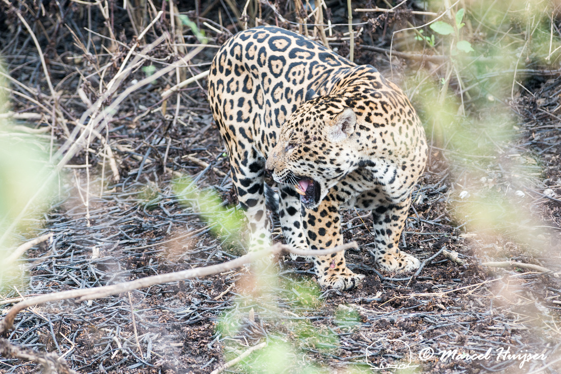 Male jaguar (Panthera onca) just after mating, Pantanal, Brazil.