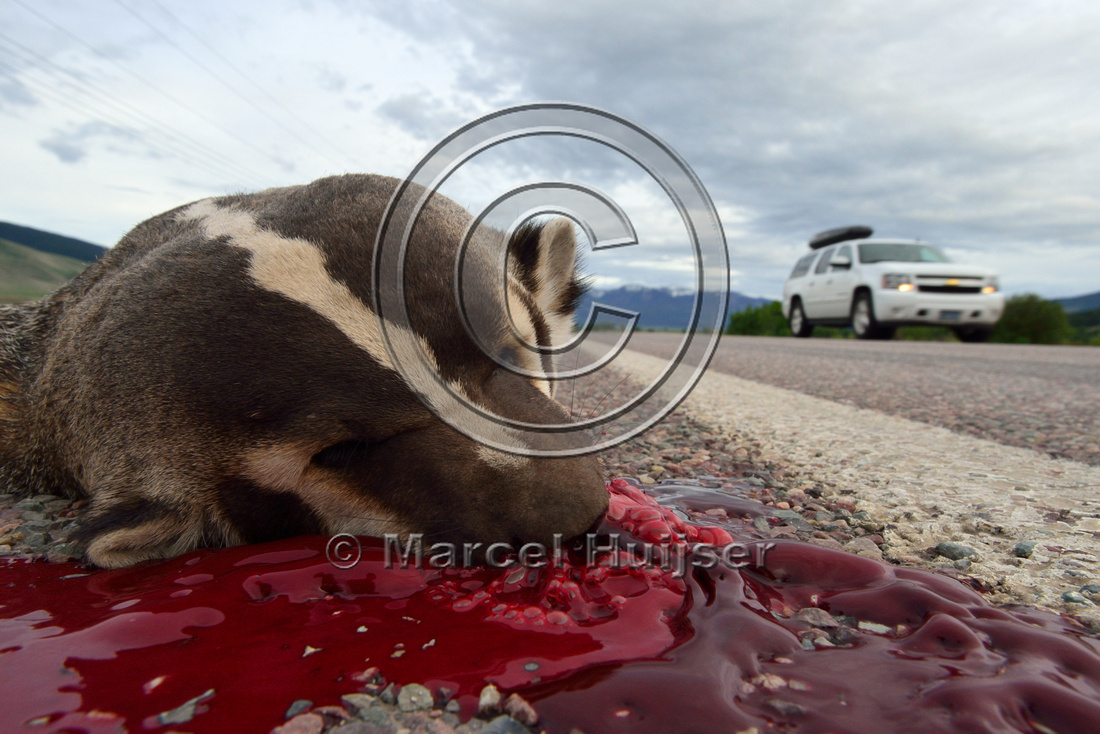 White stripe on head and neck of roadkilled American badger (Taxidea taxus), Montana, USA