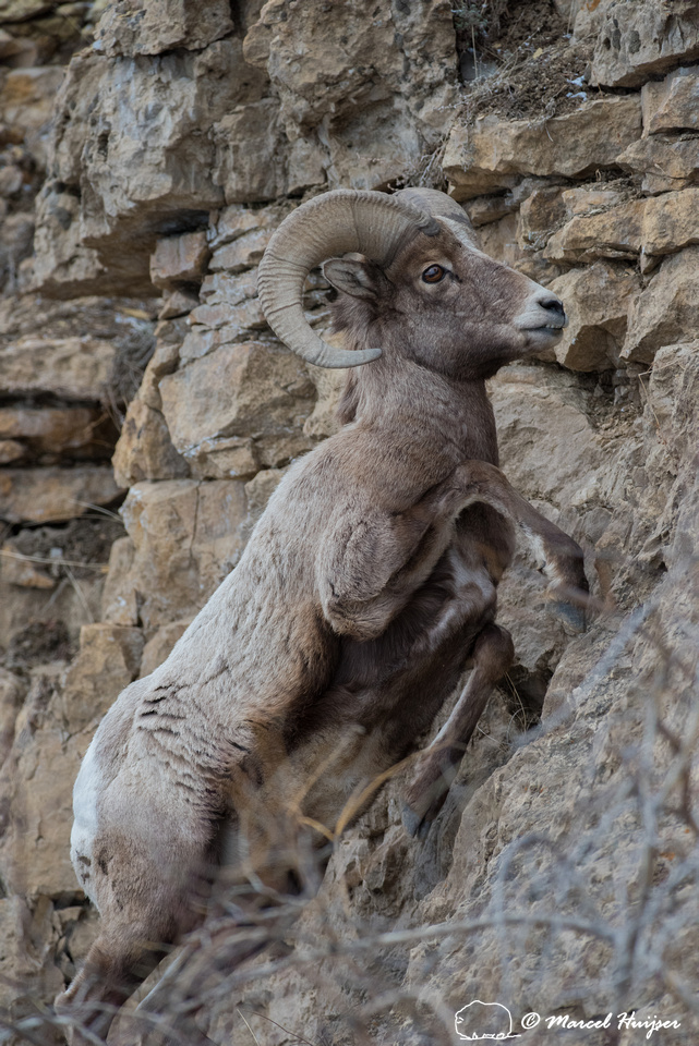 Bighorn Sheep Anatomy