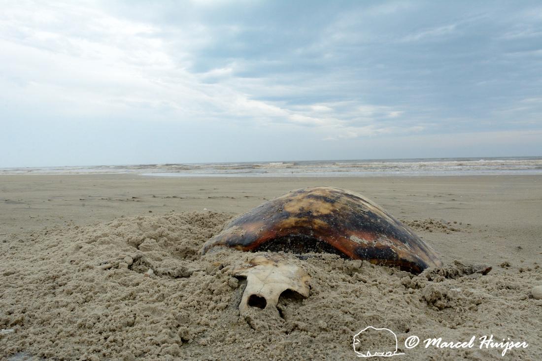 Dead Sea Turtle On Beach Parque Nacional Da Lagoa Do Peixe Rio Grande