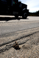 Bison or buffalo (Bos bison) faeces along Hwy 191, West Yellowstone, MT
