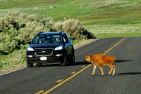 Bison (Bos bison) crossing the road, WY
