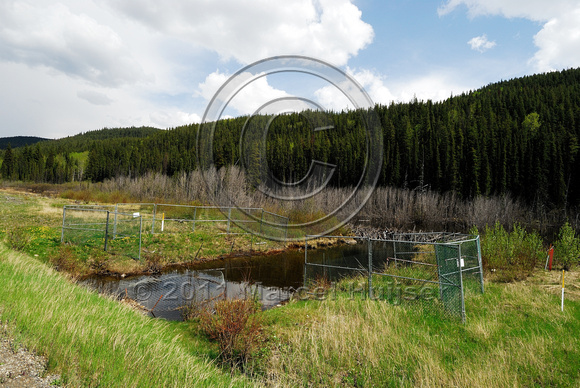 Culvert protective fence for beaver (Castor canadensis), BC